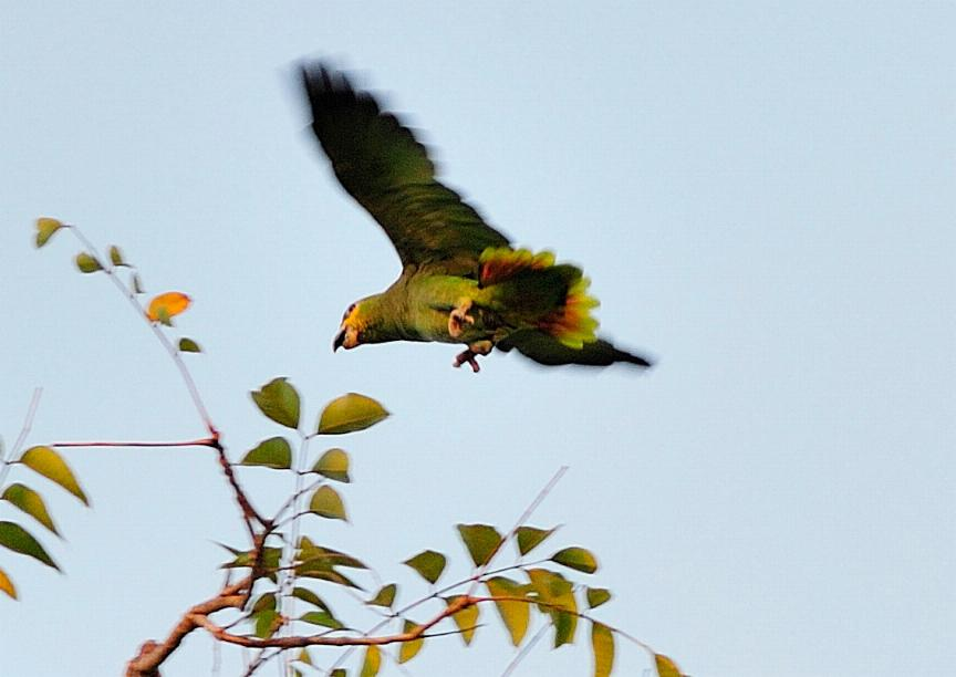 Amazona amazonica, Orange-winged Parrot, Kule kule, Kulekule, Koelekoele door Roy Tjin