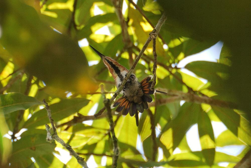 Anthracothorax nigricollis, Black-throated Mango, Korke/Kolibri door Martin Tot