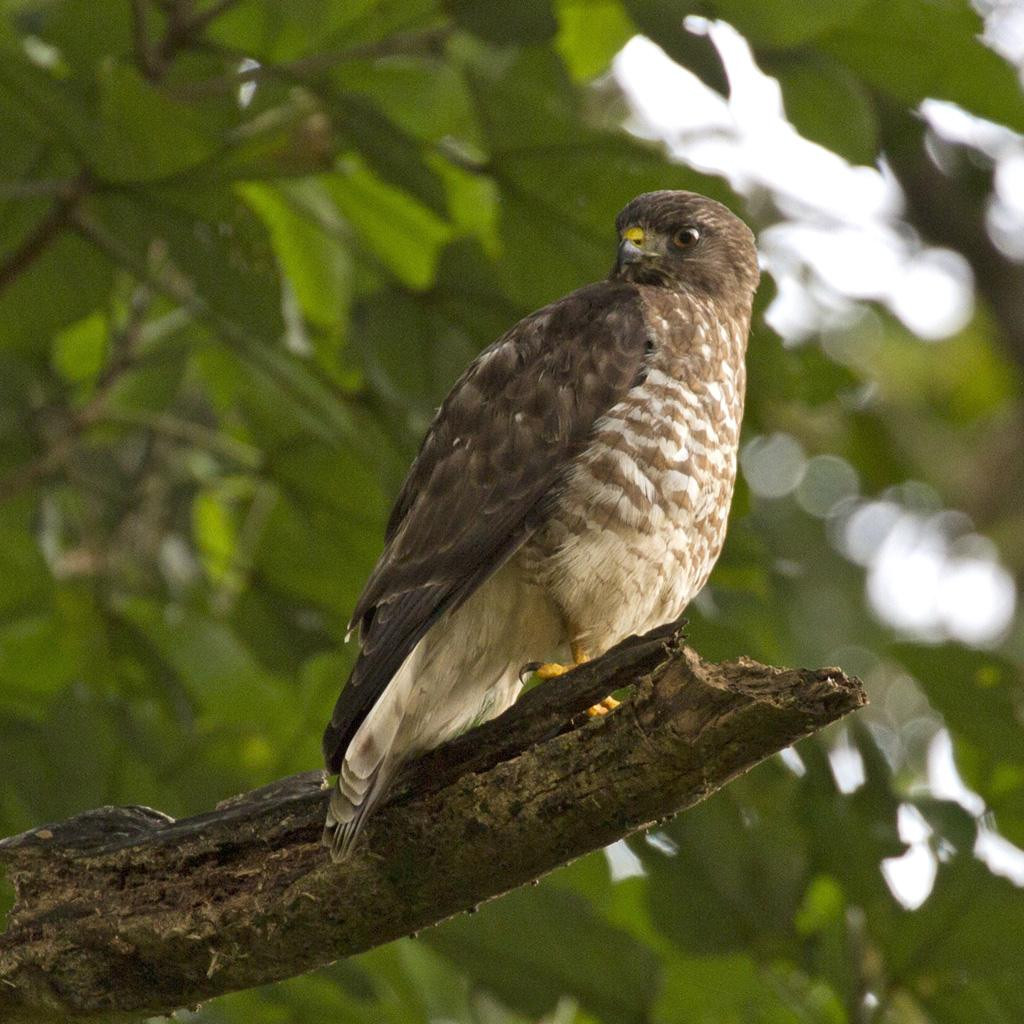 Buteo platypterus, Broad-winged Hawk,  door Michel Giraud-Audine