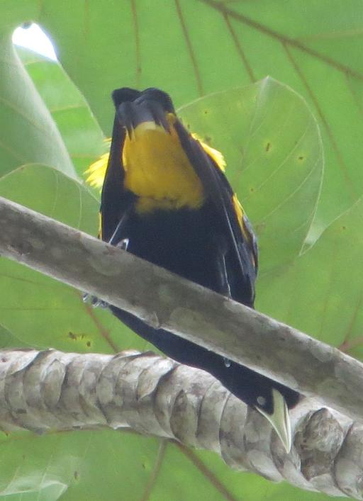 Cacicus cela, Yellow-rumped Cacique, Banabeki door Stephan Ferrier