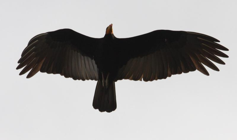 Cathartes melambrotus, Greater Yellow-headed Vulture, Tingifowru door Paul Baker