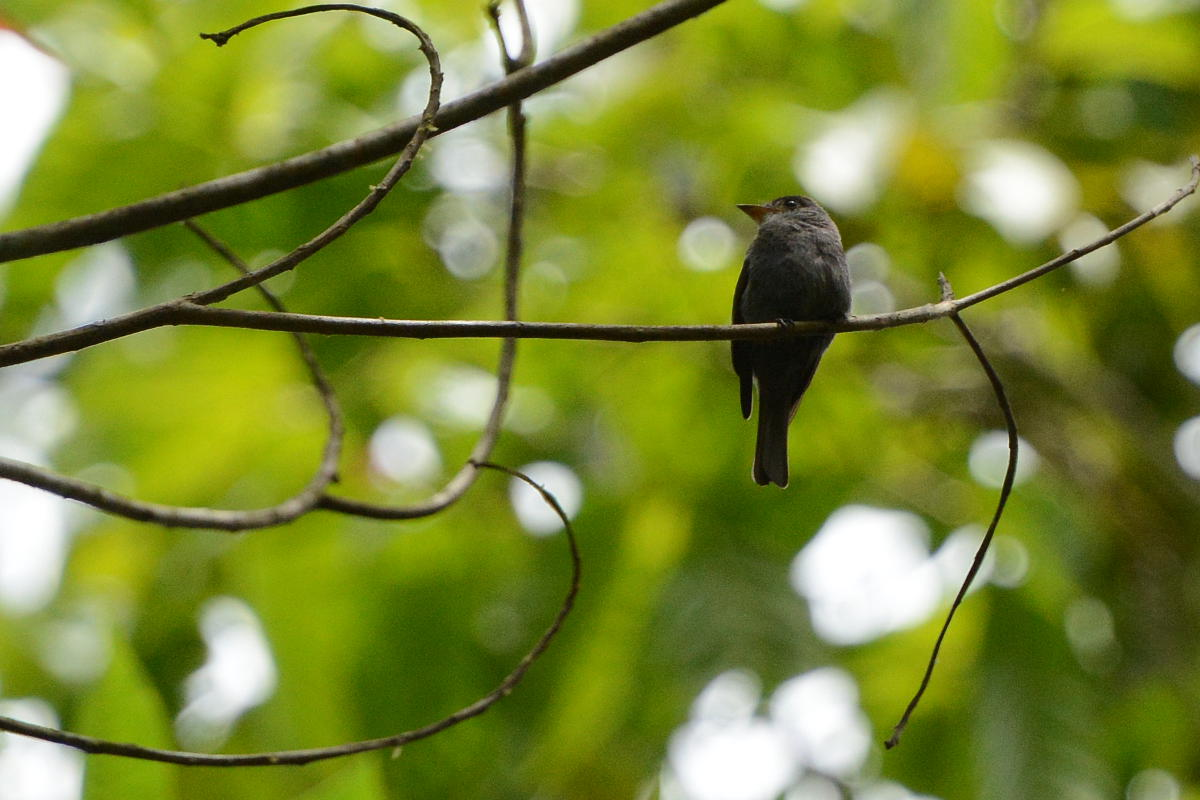 Contopus albogularis, White-throated Pewee,  door Carl Beel