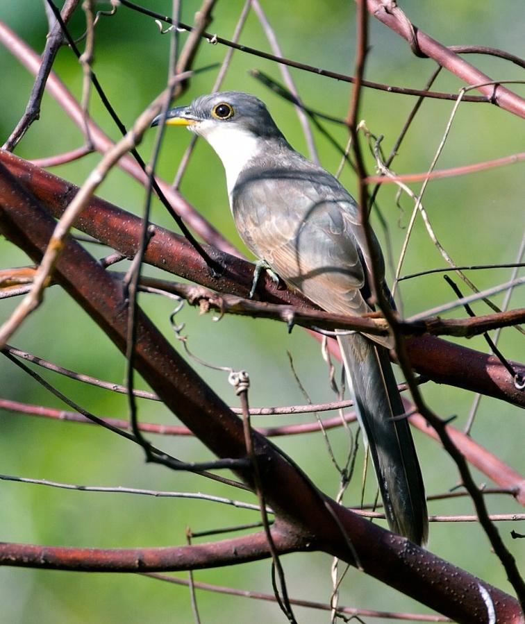 Coccyzus minor, Mangrove Cuckoo,  door Michel Giraud-Audine