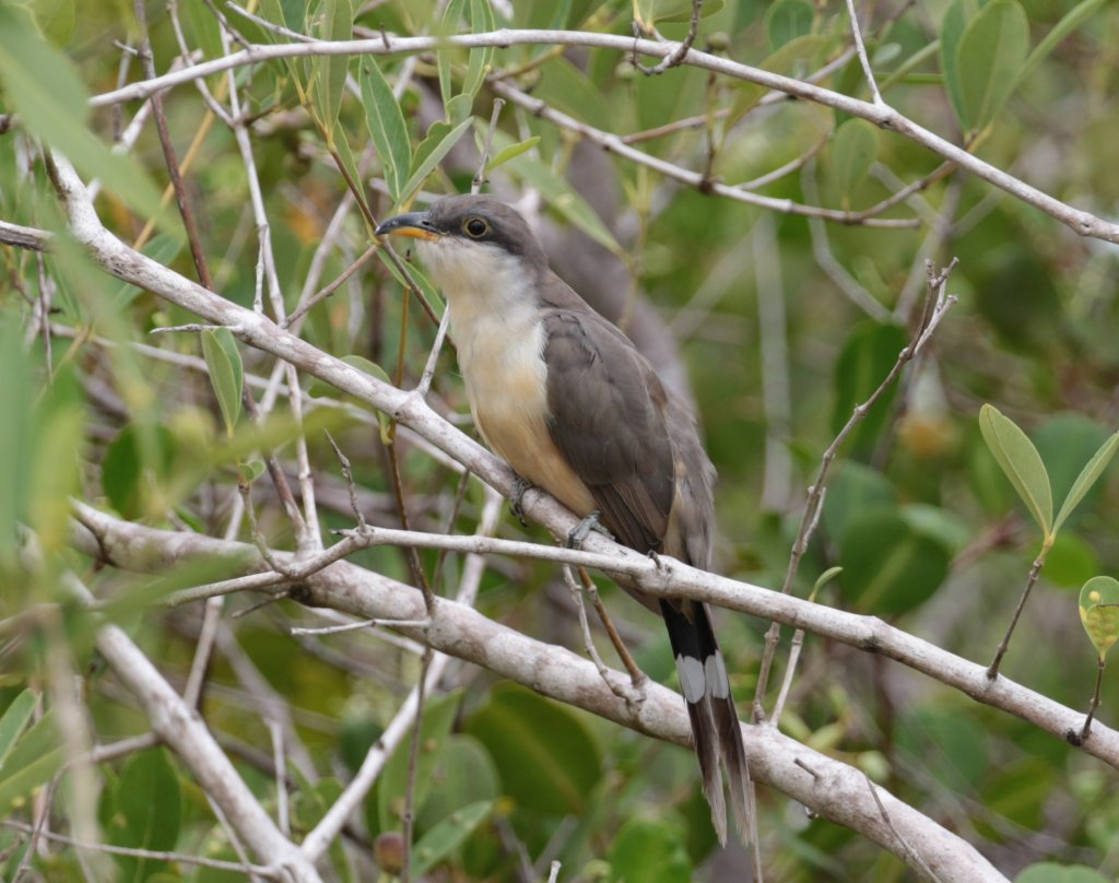 Coccyzus minor, Mangrove Cuckoo,  door Adam Dybich