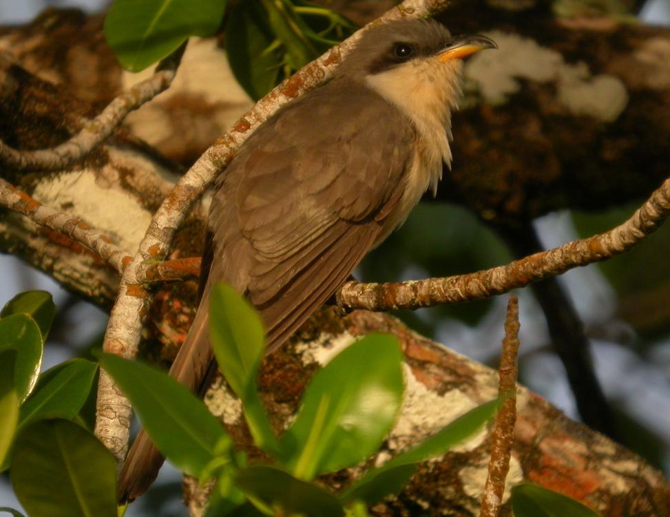 Coccyzus minor, Mangrove Cuckoo,  door Foek Chin Joe