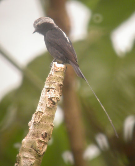 Colonia colonus, Long-tailed Tyrant,  door Foek Chin Joe