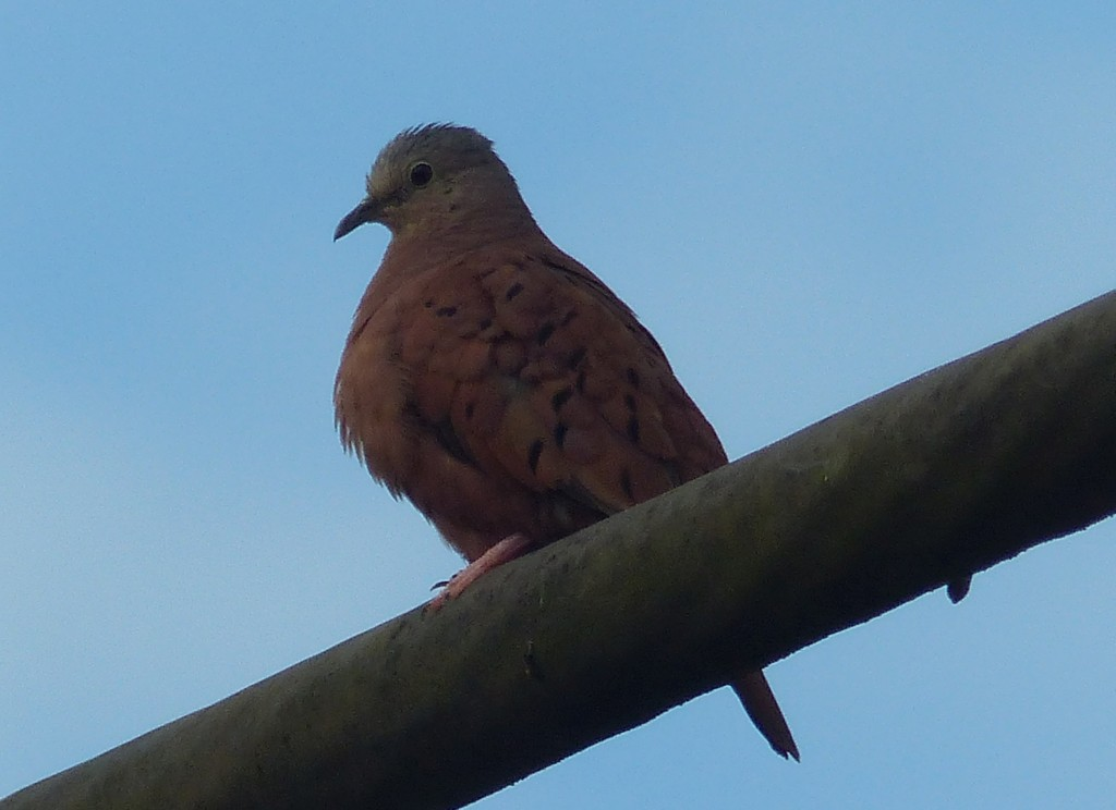 Columbina talpacoti, Ruddy Ground-Dove, Stonka door Jan Hein Ribot