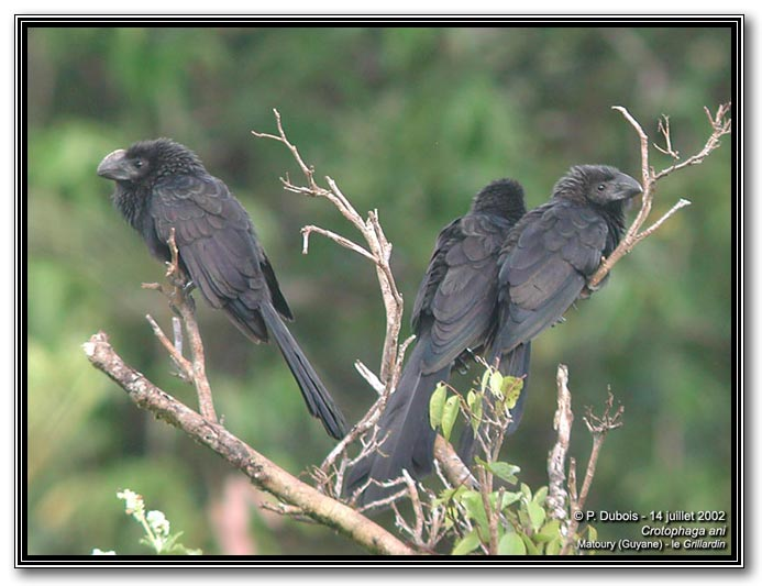 Crotophaga ani, Smooth-billed Ani, Kawfutuboi door Pascal Dubois