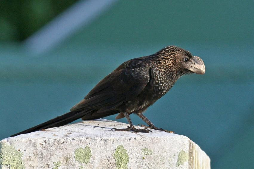 Crotophaga ani, Smooth-billed Ani, Kawfutuboi door Tinus Knegt