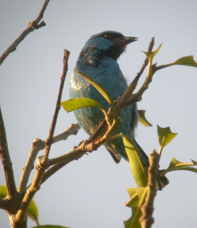 Dacnis cayana, Blue Dacnis, Blauwe pitpit (male), Groene pitpit (female) door Foek Chin Joe