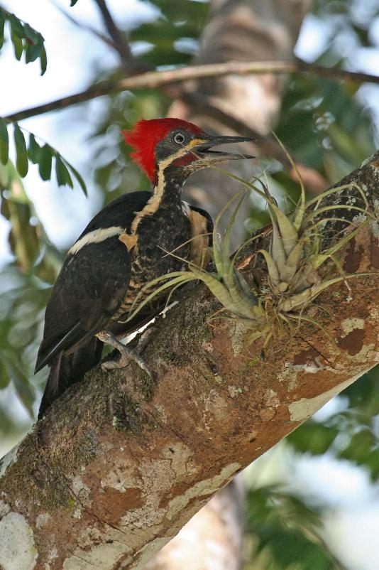 Dryocopus lineatus, Lineated Woodpecker,  door Tinus Knegt