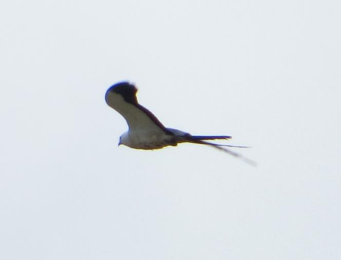 Elanoides forficatus, Swallow-tailed Kite, Sesei-aka door Stephan Ferrier