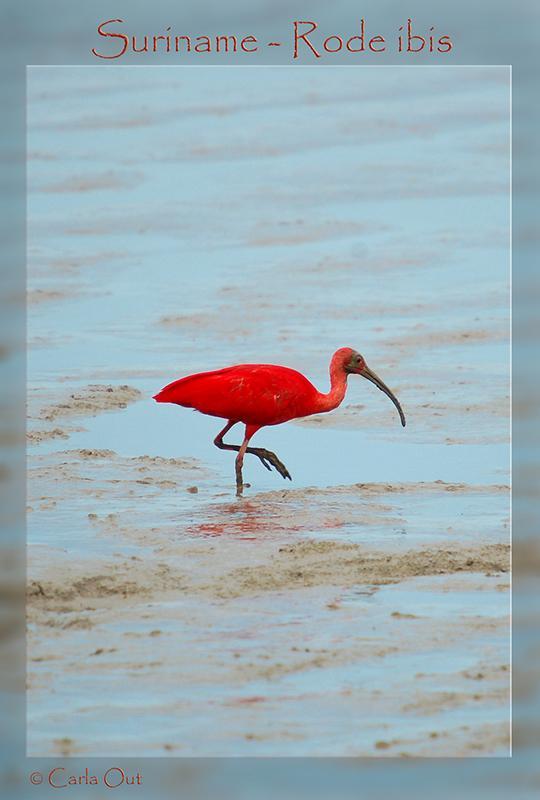 Scarlet Ibis Rode Ibis Korikori