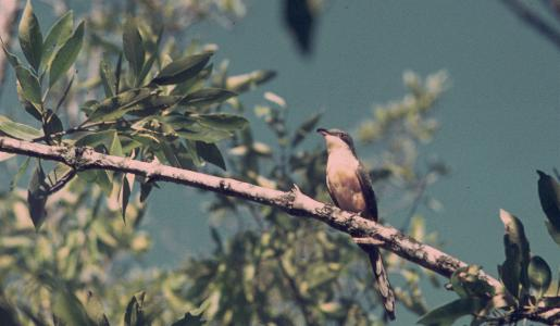 Coccyzus minor, Mangrove Cuckoo,  door Arie Spaans
