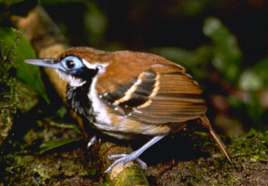 Myrmeciza ferruginea, Ferruginous-backed Antbird,  door John S. Dunning