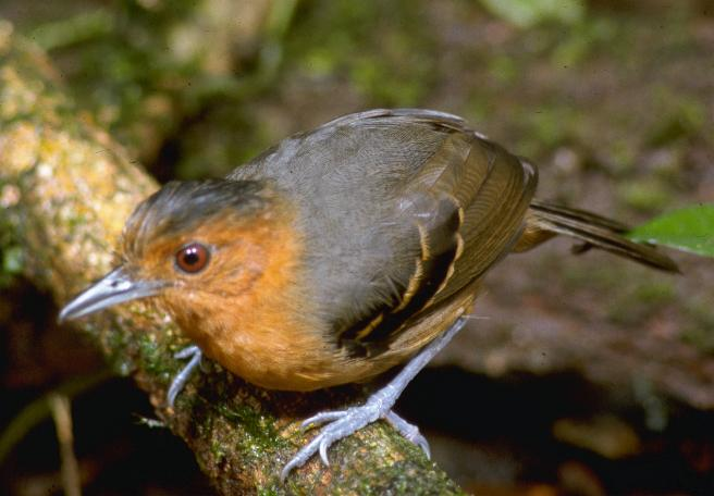 Percnostola rufifrons, Black-headed Antbird,  door John S. Dunning