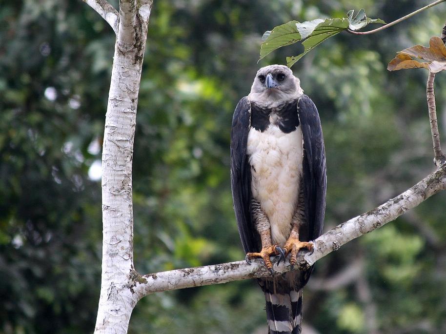 Harpy Eagle / Harpij arend, Gonini