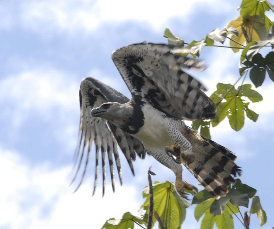 Rainforest Birds Flying Harpij / Roofvogels / ...