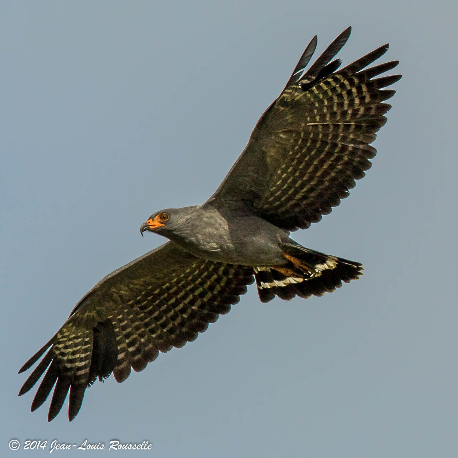 Helicolestes hamatus, Slender-billed Kite, Aka, as all birds of prey door Jean-Louis Rousselle