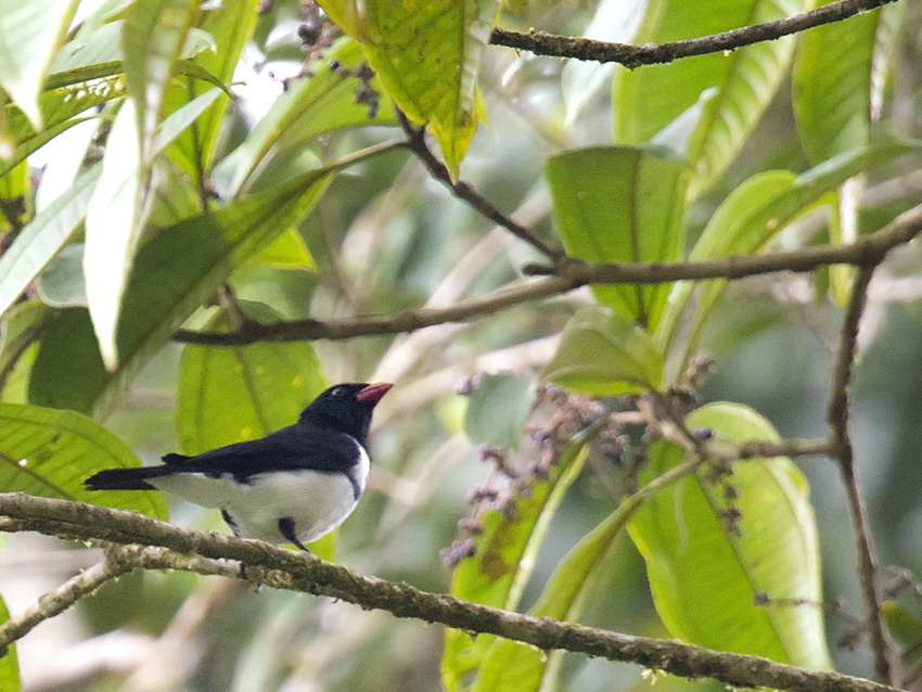 Lamprospiza melanoleuca, Red-billed Pied-Tanager,  door Daniel Lopez Velasco