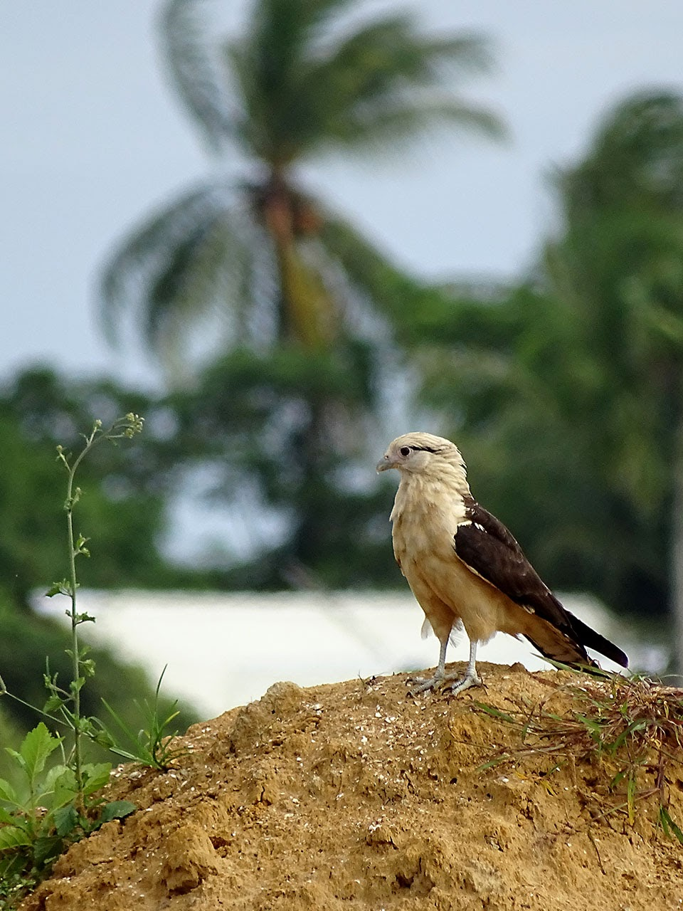 Milvago chimachima, Yellow-headed Caracara, Tingifowru aka door Hans Majong
