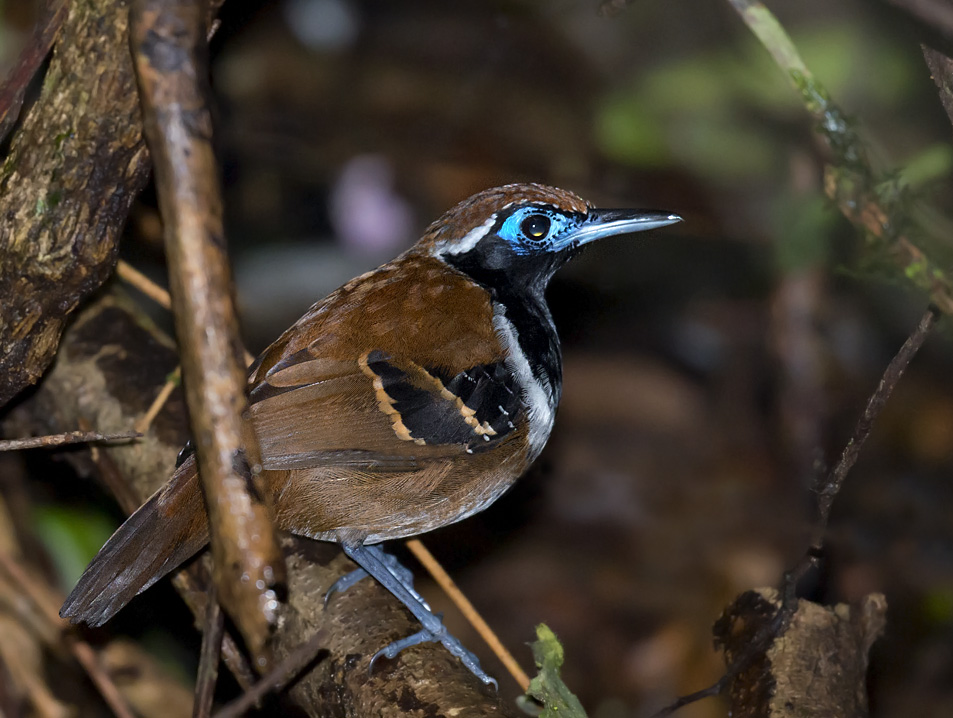 Myrmeciza ferruginea, Ferruginous-backed Antbird,  door Daniel Lopez Velasco