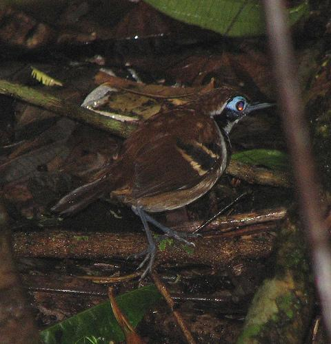 Myrmeciza ferruginea, Ferruginous-backed Antbird,  door K.D. Dijkstra