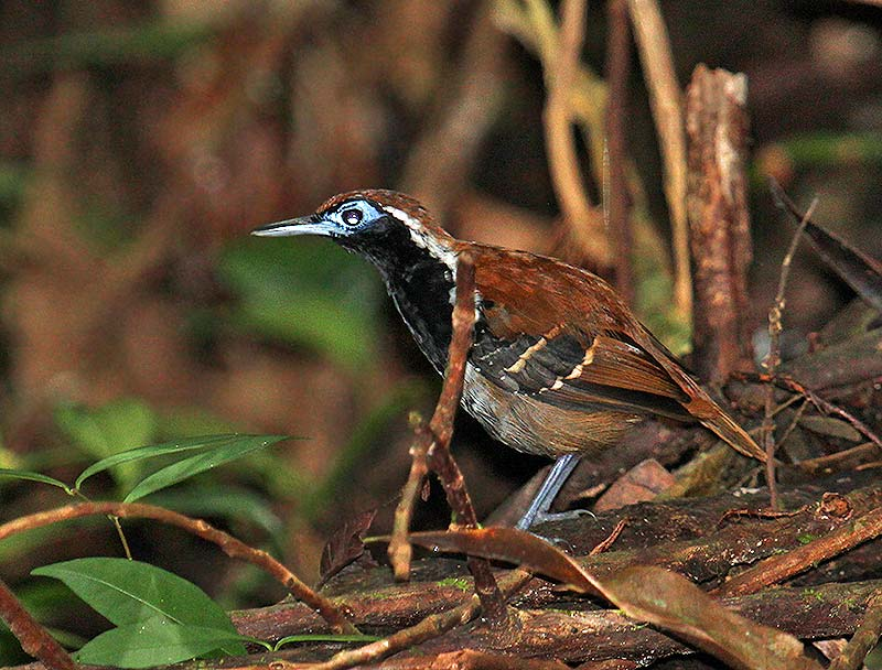 Myrmeciza ferruginea, Ferruginous-backed Antbird,  door Martin Reid