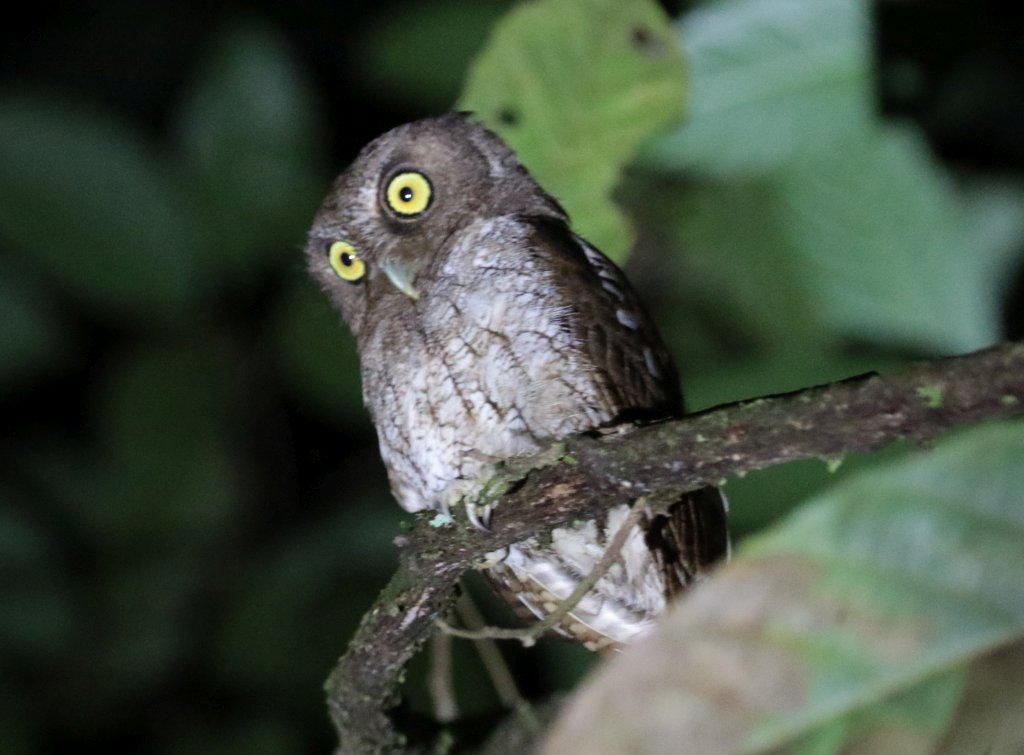 Megascops guatemalae, Vermiculated Screech-Owl,  door Adam Dybich