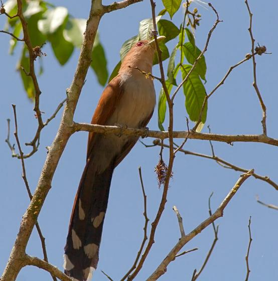 Piaya cayana, Squirrel Cuckoo, Pikan (resembling the sound it makes) door Louis des Tombe