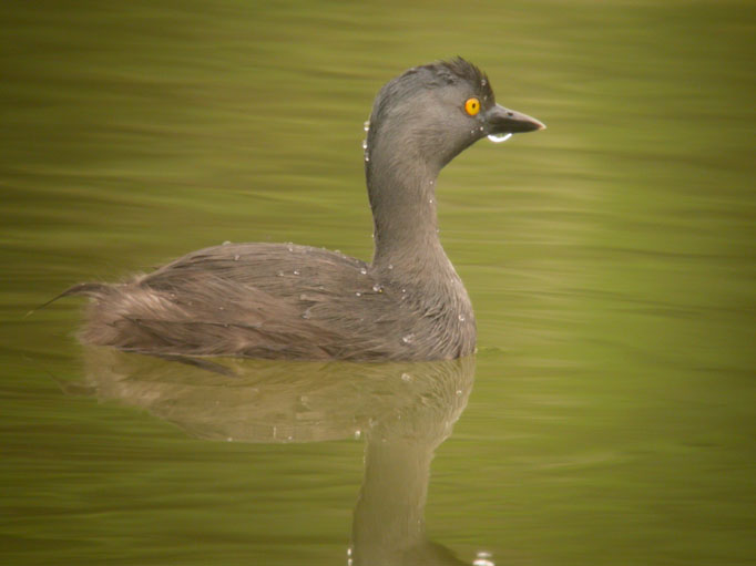 Tachybaptus dominicus, Least Grebe,  door Foek Chin Joe