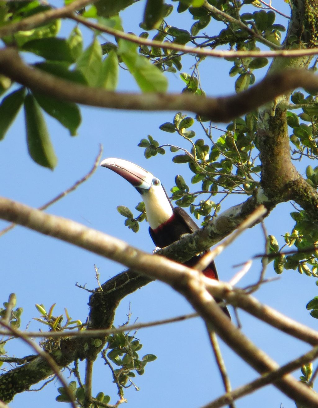 Ramphastos tucanus, White-throated Toucan, Kuyake door Stephan Ferrier