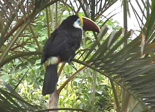 Ramphastos tucanus, White-throated Toucan, Kuyake door Jan Hein Ribot