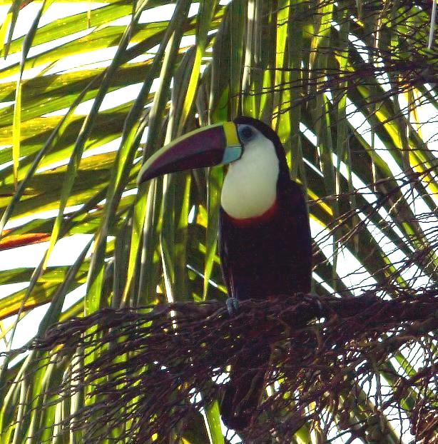 Ramphastos tucanus, White-throated Toucan, Kuyake door Louis des Tombe