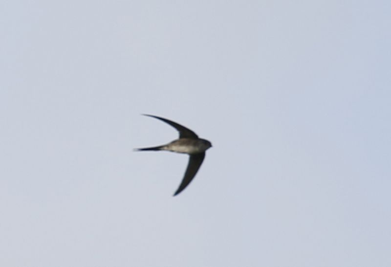 Tachornis squamata, Fork-tailed Palm-Swift,  door Klaas de Jong