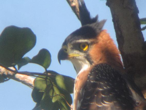Spizaetus ornatus, Ornate Hawk-Eagle, Bigi peni aka door Steven Wytema