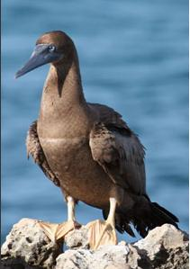 Sula leucogaster, Brown Booby,  door Greg Peterson