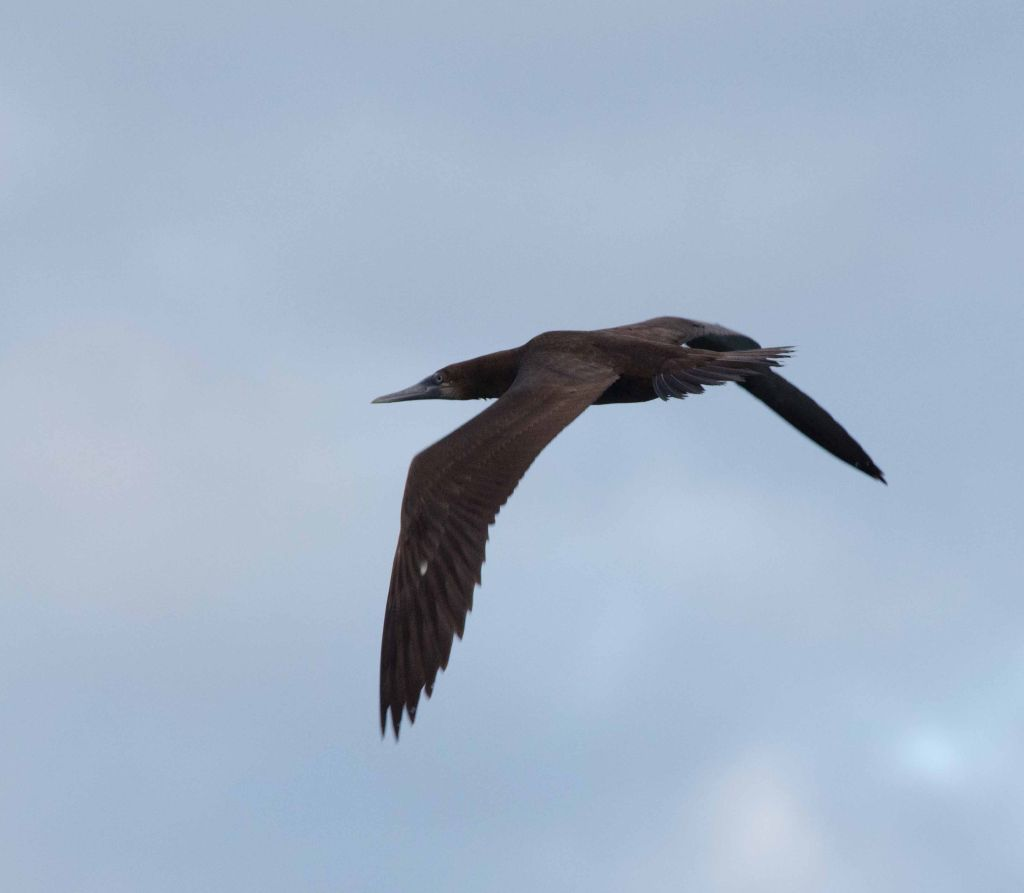 Sula leucogaster, Brown Booby,  door Tomas Willems