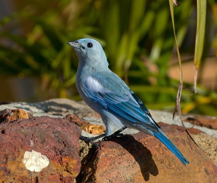 Thraupis episcopus, Blue-gray Tanager, Blawforki, Blawki, Blauwtje door Louis des Tombe