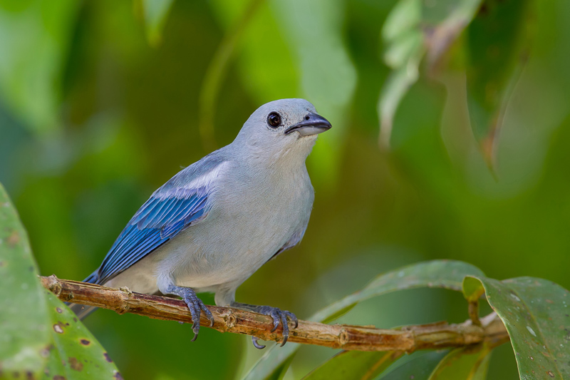 Thraupis episcopus, Blue-gray Tanager, Blawforki, Blawki, Blauwtje door Paul van Giersbergen