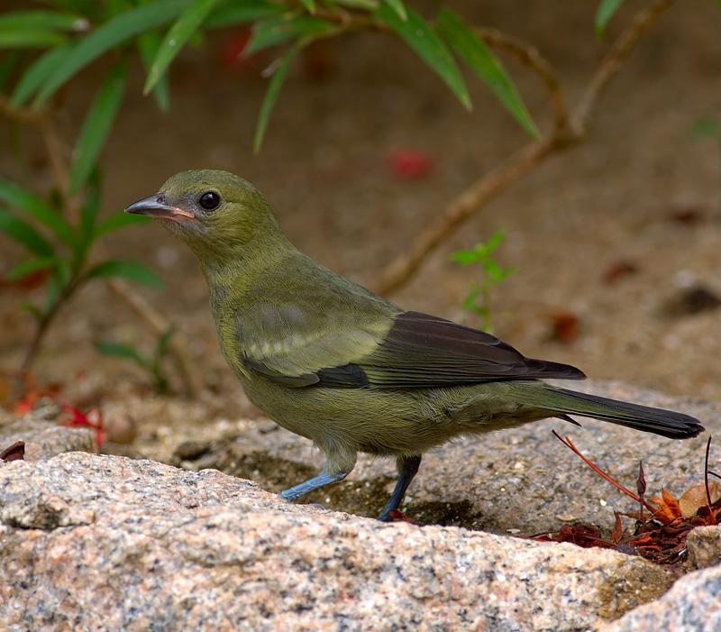 Thraupis palmarum, Palm Tanager, Krontoblawki door Louis des Tombe