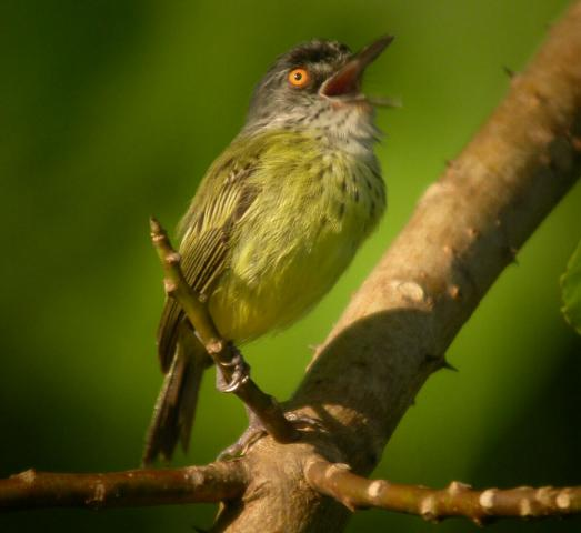 Todirostrum maculatum, Spotted Tody-Flycatcher,  door Foek Chin Joe