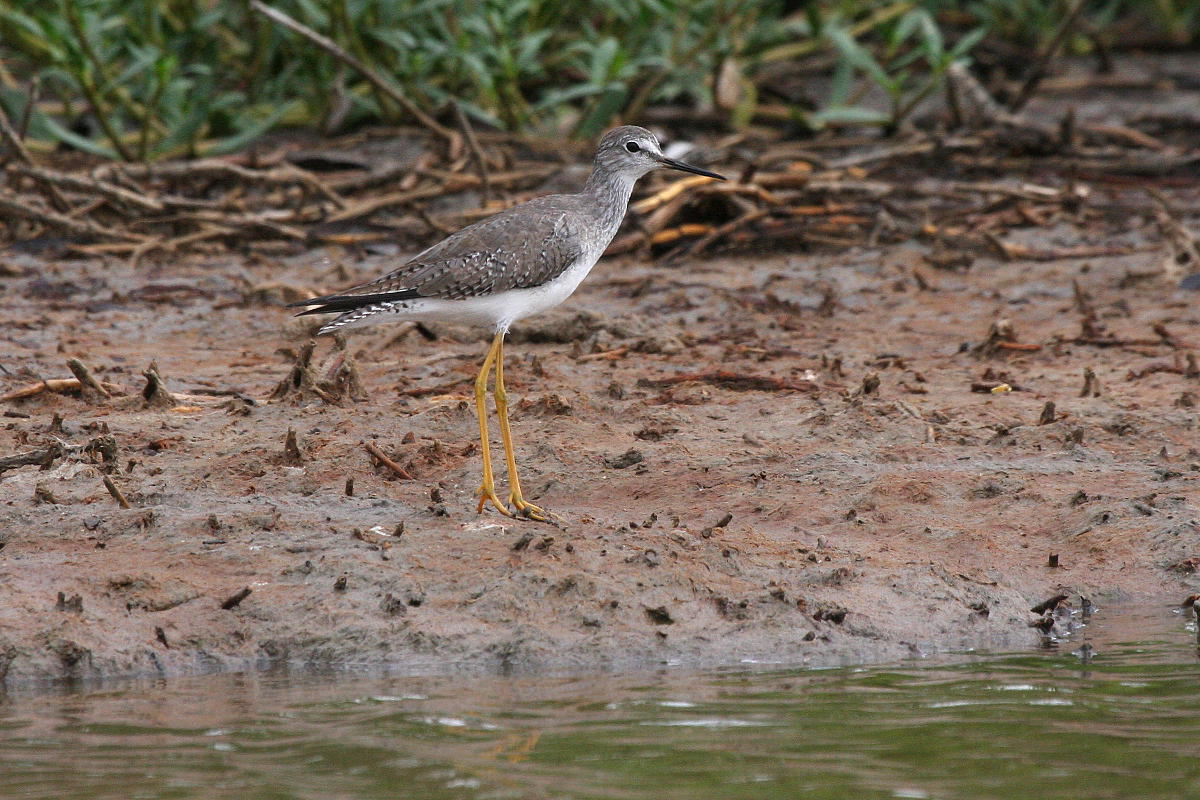 Tringa flavipes, Lesser Yellowlegs,  door Carl Beel