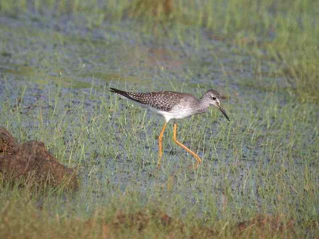 Tringa flavipes, Lesser Yellowlegs,  door Alexandre Renaudier