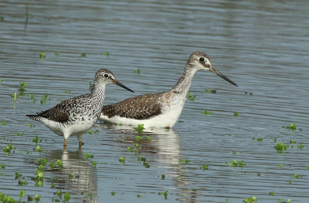 Tringa flavipes, Lesser Yellowlegs,  door Michel Giraud-Audine