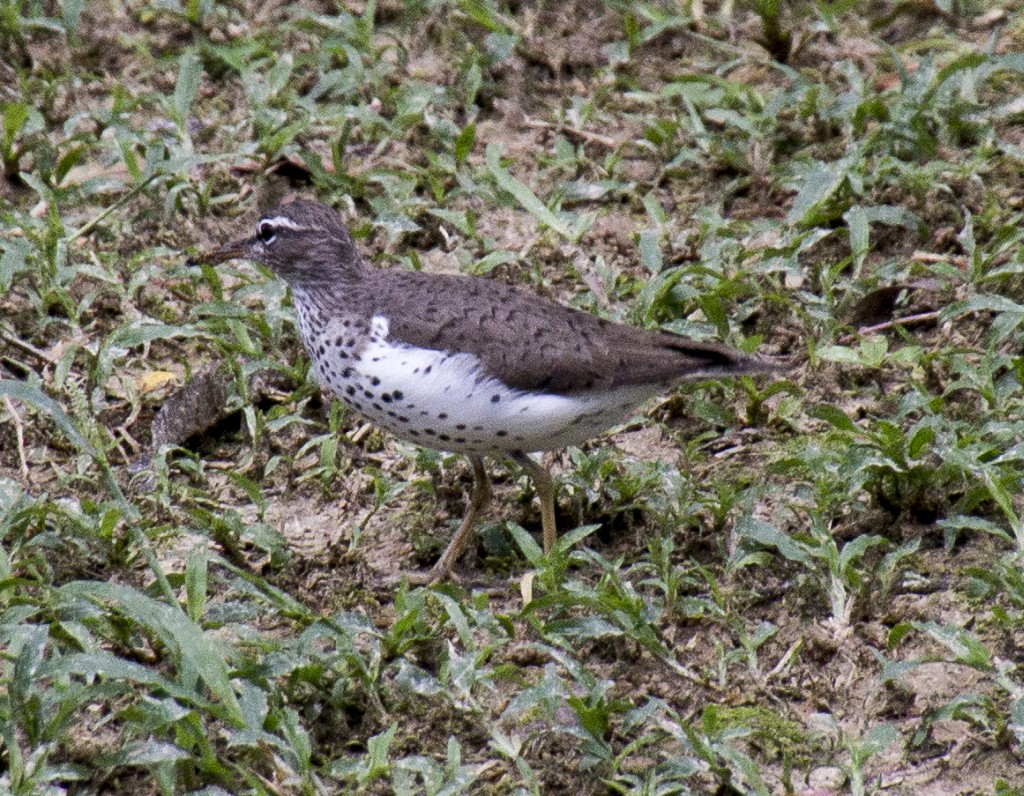 Actitis macularius, Spotted Sandpiper, Snepi door Harry Valk