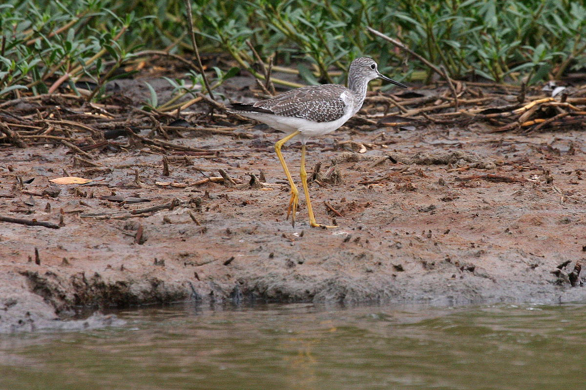 Tringa melanoleuca, Greater Yellowlegs, Bigi toriman door Carl Beel