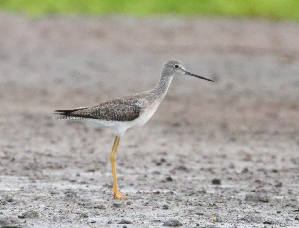 Tringa melanoleuca, Greater Yellowlegs, Bigi toriman door Klaas de Jong