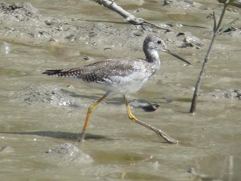 Tringa melanoleuca, Greater Yellowlegs, Bigi toriman door Erik Toorman