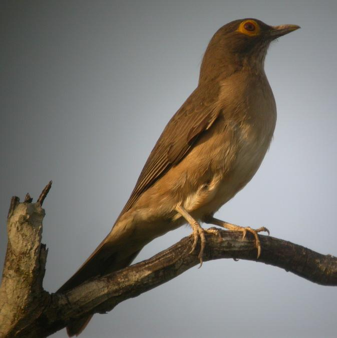 Turdus nudigenis, Spectacled Thrush, Ger
